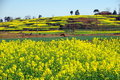 Free Pengzhou, China: Fields Of Yellow Rapeseed Stock Photos - 8406923