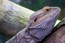 Eastern Bearded Dragon Stock Photo