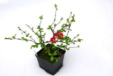 Free Quince Bloom In Pots In The Snow Royalty Free Stock Image - 8400146