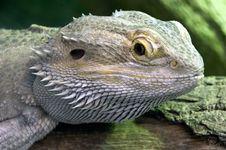 Eastern Bearded Dragon Stock Image