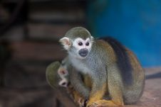 Free Squirrel Monkey Stock Images - 8402304