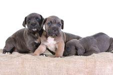 Free Puppy Italian Mastiff Cane Corso Stock Image - 8402401