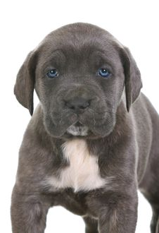 Puppy Italian Mastiff Cane Corso Royalty Free Stock Images