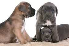 Puppy Italian Mastiff Cane Corso Stock Images