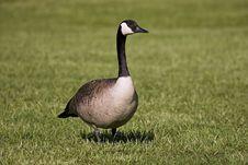 Free Goose Walking Stock Photo - 8402940