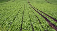 Free Planted Lettuce  Field Stock Image - 8403121
