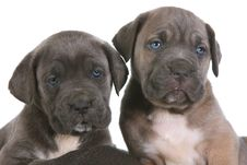 Puppy Italian Mastiff Cane Corso Stock Photography
