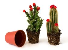 Free Potted Cacti With Flowers Stock Image - 8403541