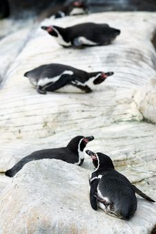 Free Line Of Penguins Laying Down Stock Photos - 8403723