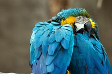 Free Preening Parrots Stock Photography - 8403772