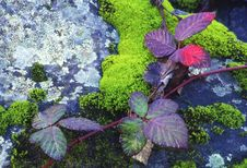 Vine On Mossy Granite Royalty Free Stock Photos