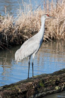 Free Sandhill Crane On A Log Royalty Free Stock Photo - 8403955
