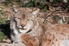 Eurasian Lynx Stock Photos