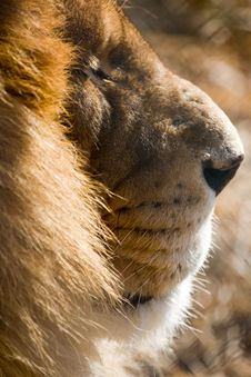 Free Lion Profile Stock Photo - 8404040