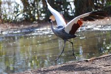 Free African Crowned Crane Royalty Free Stock Image - 8404136
