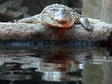 Cuban Crocodile Royalty Free Stock Images