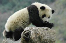 Free Panda Stock Image - 8405071