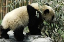 Free Panda Royalty Free Stock Image - 8405106