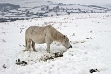 Free Dartmoor Wild Pony In The Snow Stock Image - 8405181