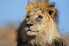 Free Lion Royalty Free Stock Image - 8405226