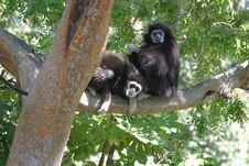 Free White-Handed Gibbons Royalty Free Stock Images - 8405519