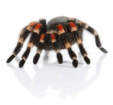 Free Mexican Redknee Tarantula Royalty Free Stock Images - 8405799