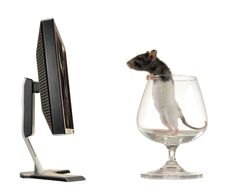 Free Rat Royalty Free Stock Photography - 8405817