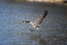 Canadian Goose Landing Royalty Free Stock Photos
