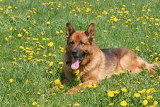 Free German Shepard Stock Photography - 8406412
