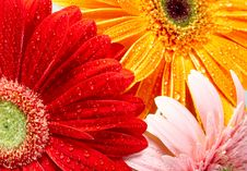 Free Daisy-gerbera Royalty Free Stock Photography - 8406607