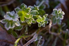 Free Green Plants Covered By Hoarfrost Royalty Free Stock Photos - 8407418