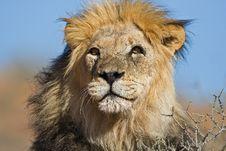 Free Lion Royalty Free Stock Photos - 8407708