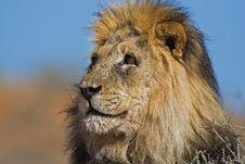 Free Lion Stock Image - 8407851