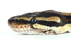 Free Python Stock Photos - 8408093