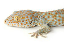 Free Gecko Royalty Free Stock Photography - 8408237
