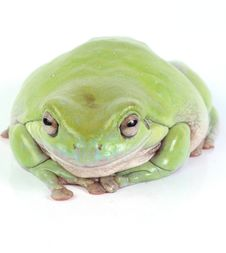 Green Treefrog Royalty Free Stock Image