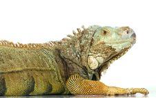 Free Iguana Royalty Free Stock Photography - 8409067