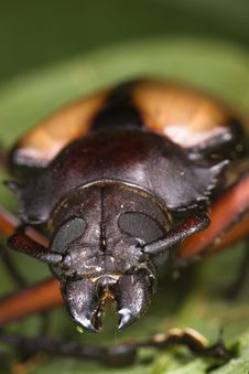 Free Beetle Face Macro Stock Photography - 8409072