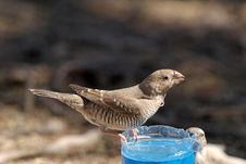Free Thirsty Bird Stock Photography - 8409162