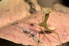 Free Mantis Stock Images - 8409684