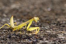 Free Mantis Stock Image - 8409741