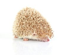 Free Hedghog Royalty Free Stock Photo - 8409765
