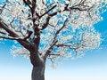 Free Blossoming Cherry-tree Royalty Free Stock Photo - 8412445