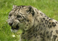 Free Portrait Of A Snow Leopard Royalty Free Stock Image - 8412826
