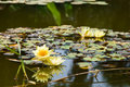 Free Yellow Water Lily (lotus) Royalty Free Stock Images - 8414479