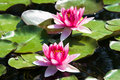 Free Pink Water Lily (lotus) Stock Photography - 8414602