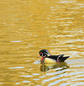Free Wood Duck Royalty Free Stock Photo - 8418265