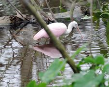 Spoonbill Fishing Royalty Free Stock Images