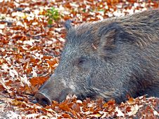 Free Boar Stock Images - 8410494