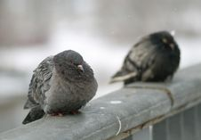 Free Two Pigeon Royalty Free Stock Photos - 8410548